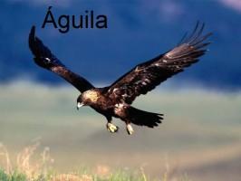 aguila-orzeł