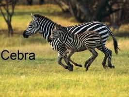 cebra-zebra