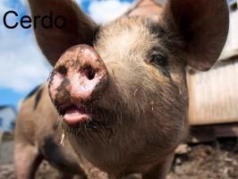 cerda-świnia