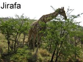 jirafa-żyrafa