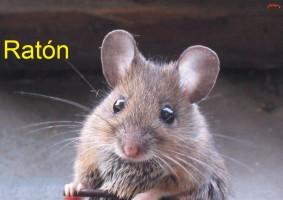 mysz-raton