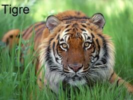 tygrys-tigre