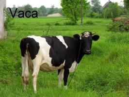 vaca-krowa